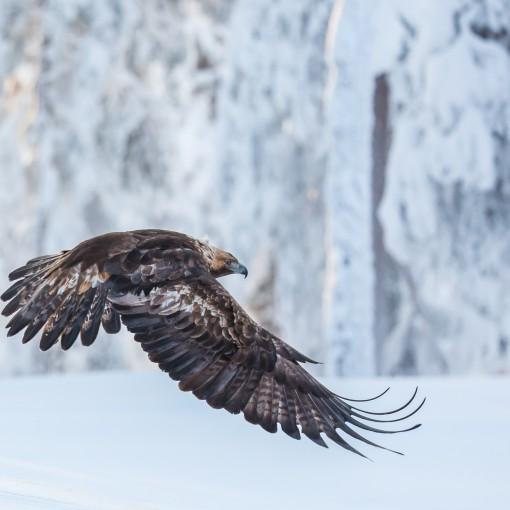 Golden Eagles_2