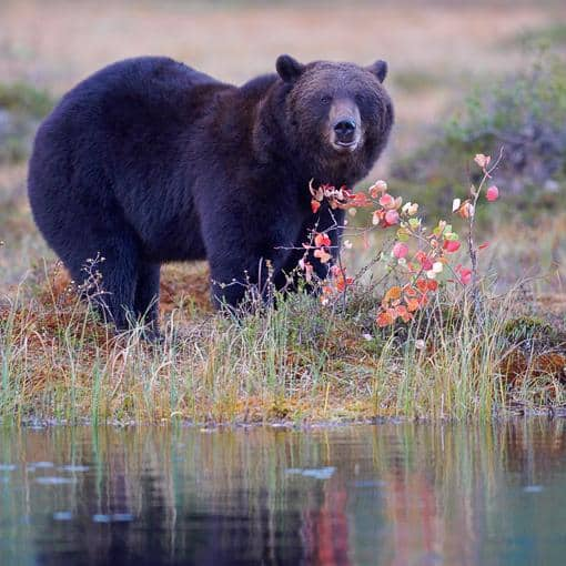 autumn_brown_bear_2990_JariPeltomaki