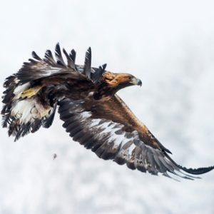 geia_03_golden_eagle_4963_JariPeltomaki
