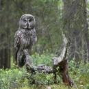 great_grey_owl_8082_JariPeltomaki
