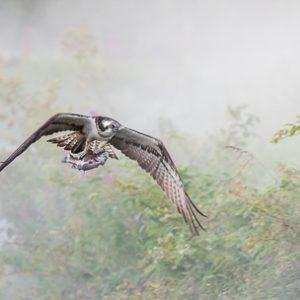 osprey-8357-by-olli-lamminsalo_27424620662_o