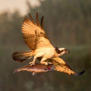 osprey-8380-by-olli-lamminsalo_27488797666_o