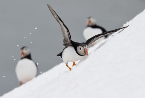 Arctic seaducs and puffins on snow -photography tour