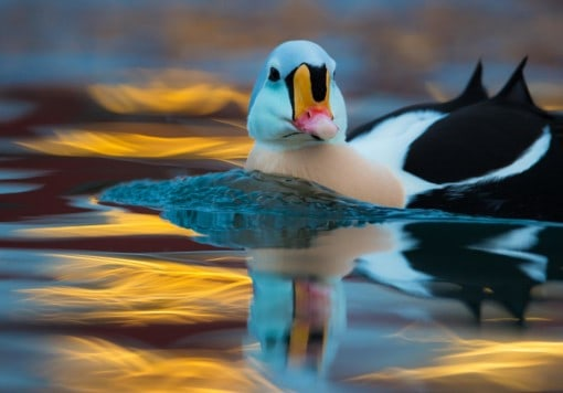 Arctic seaducks and Puffins on snow photo tour