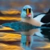 Arctic Seaducs and Puffins on snow