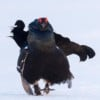 Black grouse - birds and mammals in spring