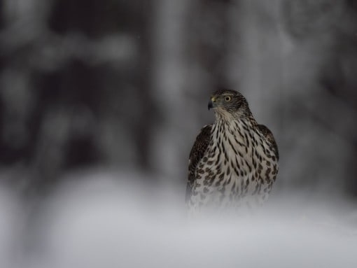 birds and mammals on snow photography tour
