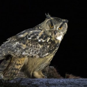 Eagle Owl and Golden Eagles photography tour